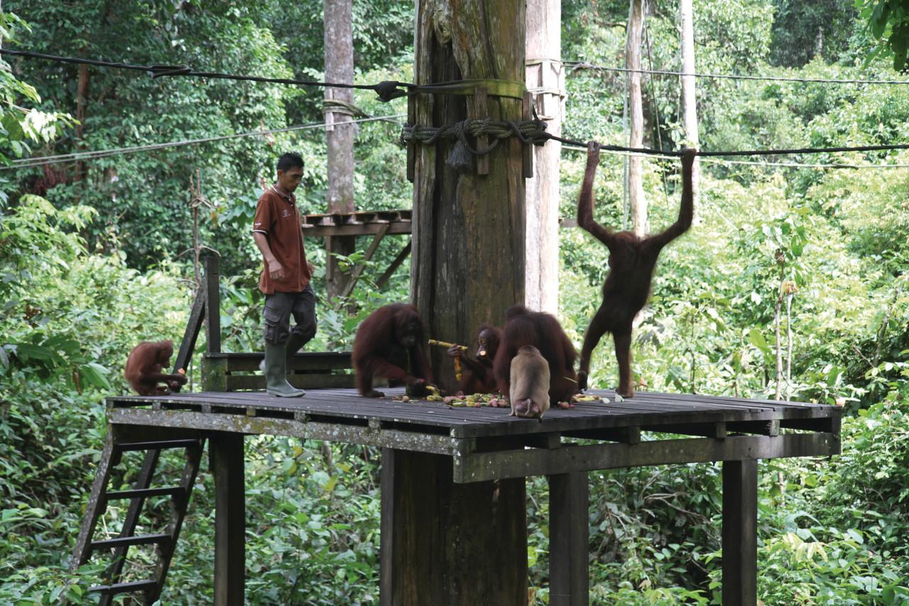 Centre de réhabilitation des orangs outans de Sepilok (© Stéphan SZEREMETA))