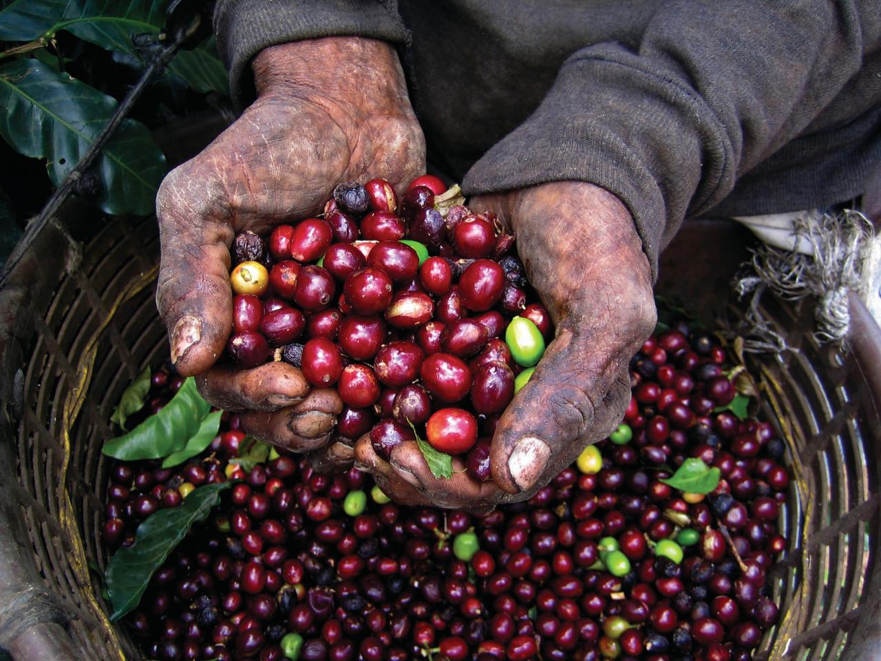Culture du café au Salvador.