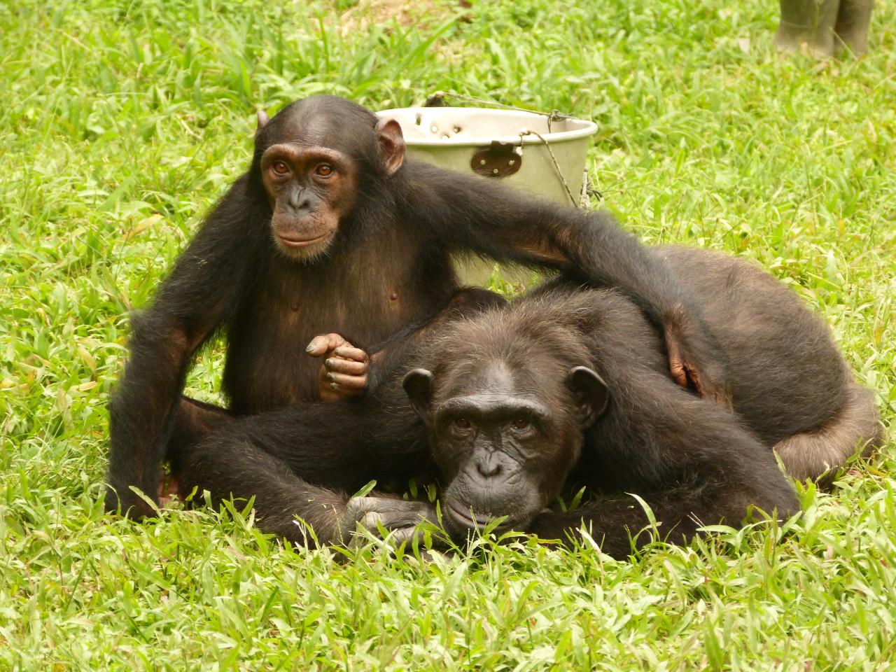 Chimpanzés réintroduits en milieu naturel, parc national de Conkouati-Douli. (© HELP Congo))