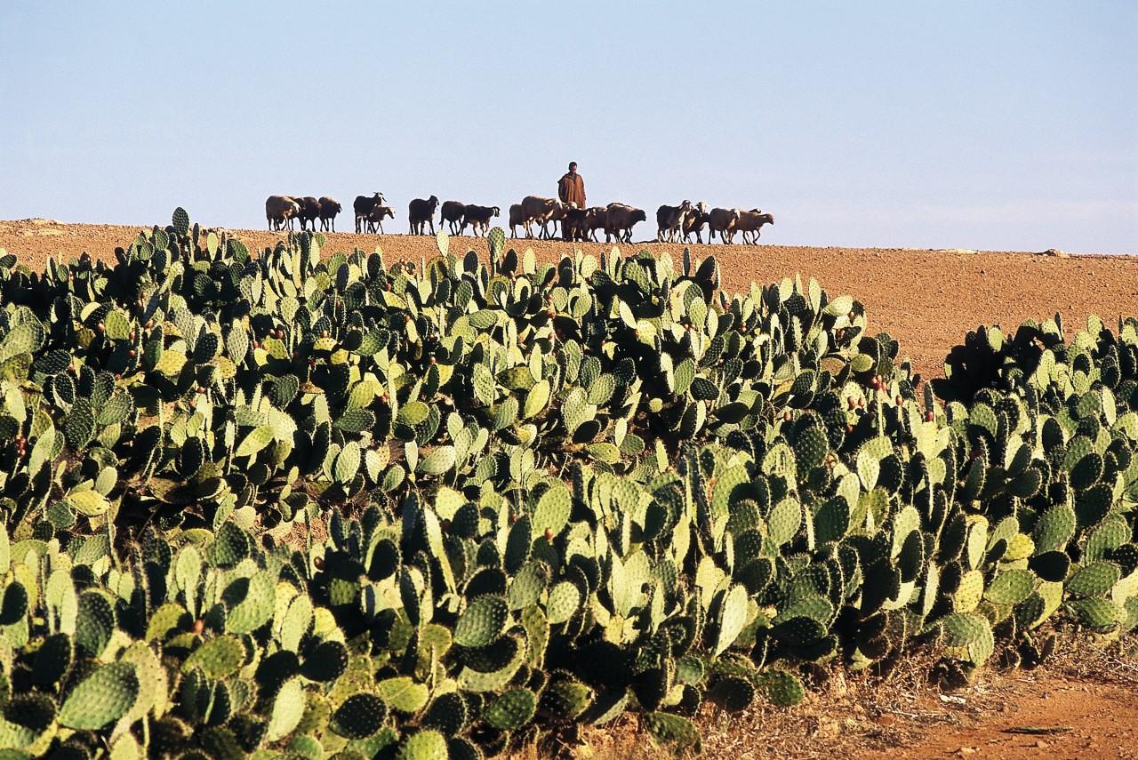 Champ de cactus et troupeau. (© Atamu RAHI - Iconotec))