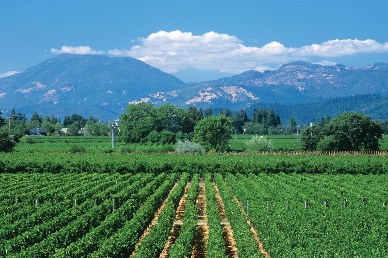 Calistoga Vineyard, Napa Valley.