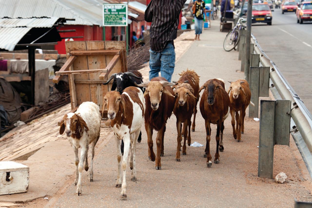 Troupeau de chèvres dans les rues d'Accra. (© Gordondix - iStockphoto))