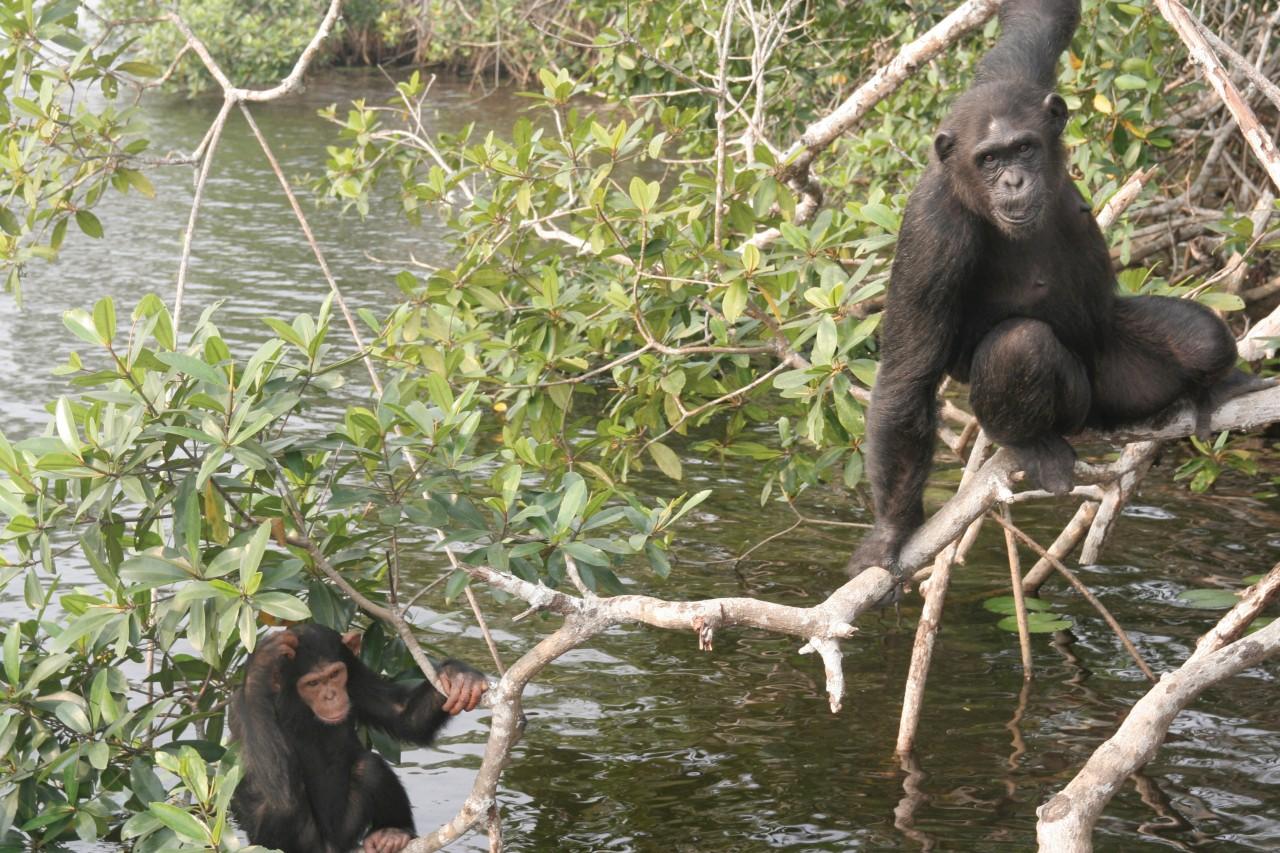 Parc national de Conkouati-Douli, chimpanzés sur une des îles du sanctuaire de Help Congo. (© Stéphane DAMANT))