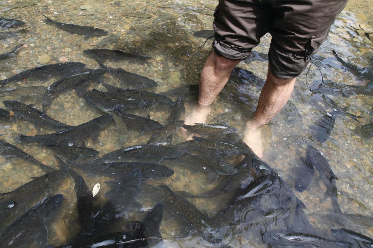 Séance de fish massage par des poissons tagal (© Stéphan SZEREMETA))