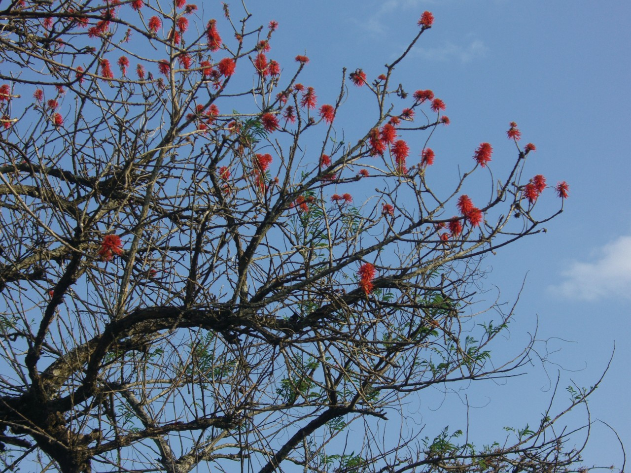 L'érythrine, arbre sacré du Burundi ancien. (© Christine DESLAURIER))