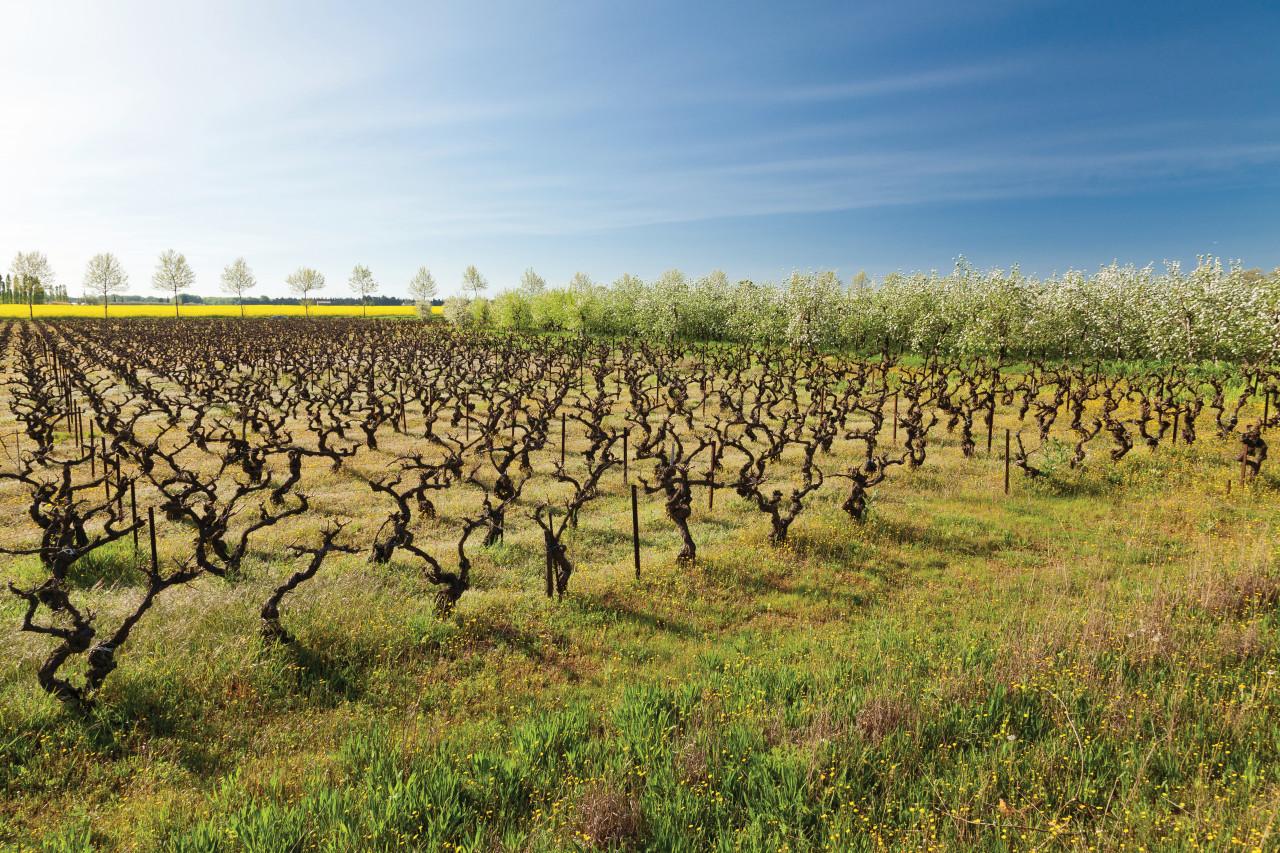 Vignoble près de La Grande-Motte. (© Frédéric de Bailliencourt))