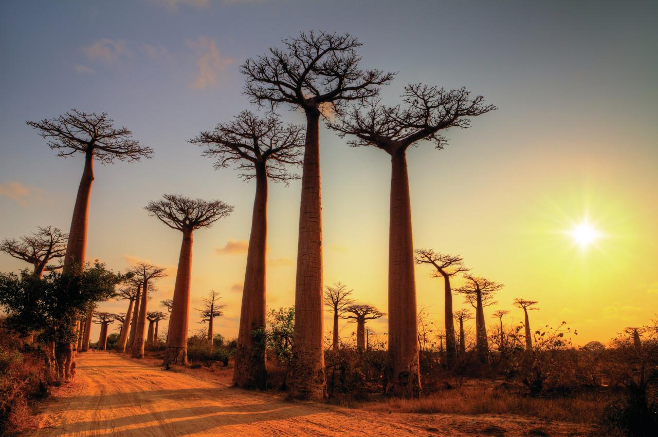 Baobabs de Madagascar