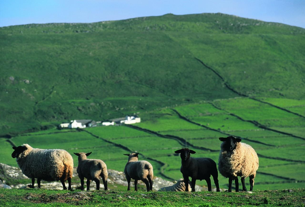 Élevage d'ovins (© H.Fougère - Iconotec))