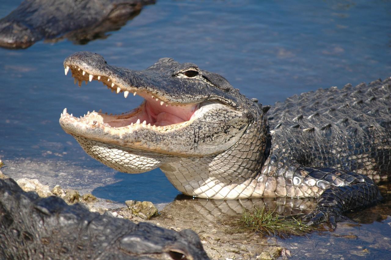 Alligator de los Everglades.