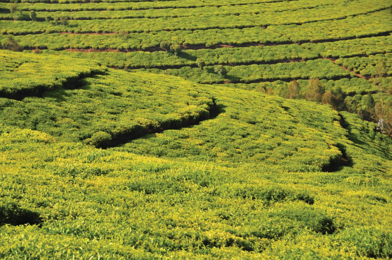 Plantation de thé à Teza. (© Mtcurado - iStockphoto))