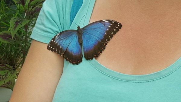 Papillon broche - ©LE JARDIN DES DÉCOUVERTES - LA FERME AUX PAPILLONS