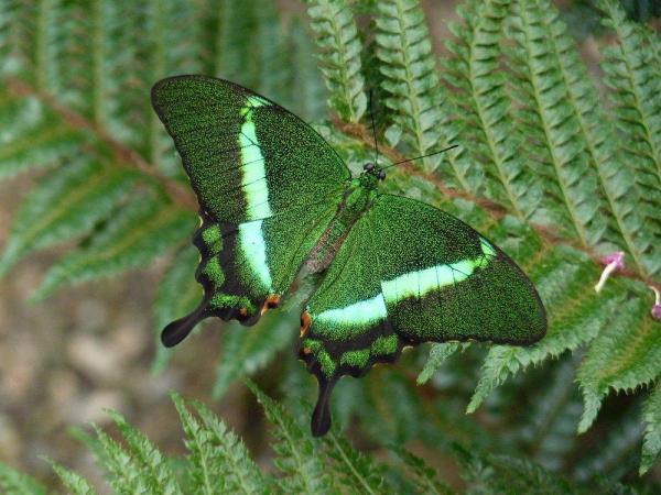 Papilio Palinurus - ©LE JARDIN DES DÉCOUVERTES - LA FERME AUX PAPILLONS