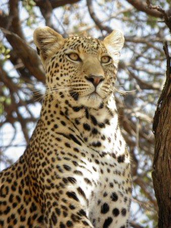 LEOPARD - KHWAI - ©AFRICA CŒUR SAFARIS