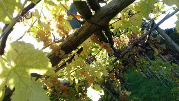 MARISA CUOMO Agriculture – Viticulture Furore photo n° 334525 - ©MARISA CUOMO