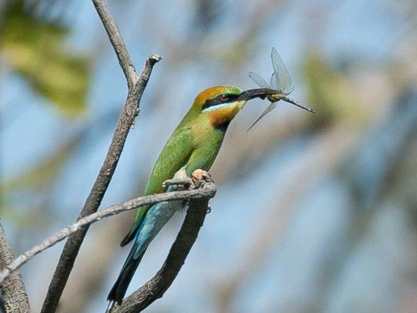 Bee-eater - ©Corroborree Billabong Wetland Cruises