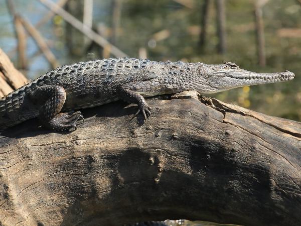 Freshwater crocodile - ©Corroborree Billabong Wetland Cruises