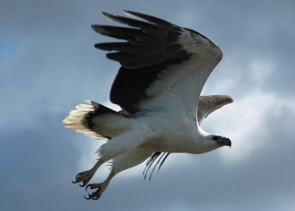 Sea Eagle - ©CORROBOREE BILLABONG WETLAND CRUISES