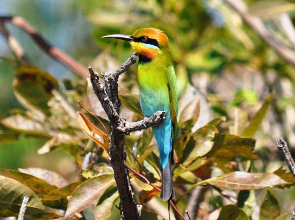 Rainbow Bee Eater - ©CORROBOREE BILLABONG WETLAND CRUISES