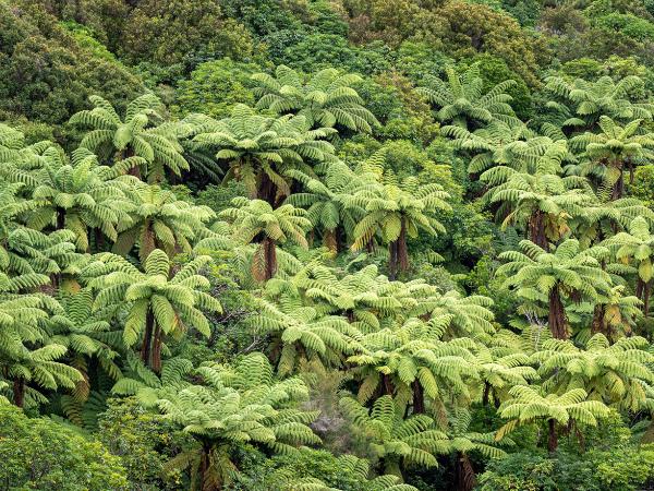 Les fougères arborescentes de Nouvelle-Zélande - ©Yoann Feillet