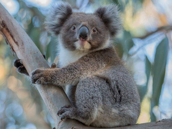 Koala - ©ANTIPODES TRAVEL