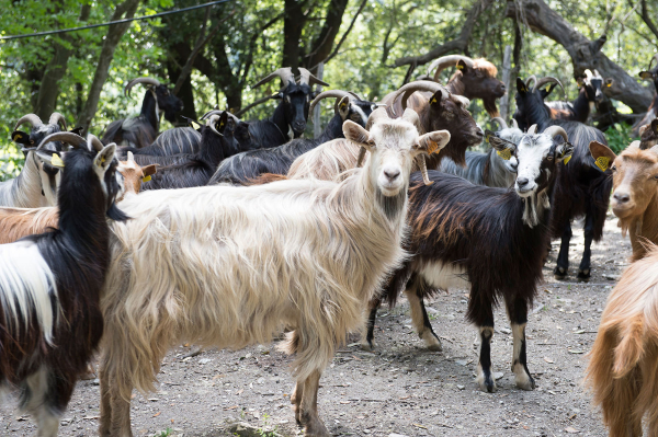 Chèvre - ©LA ROUTE DES SENS AUTHENTIQUES