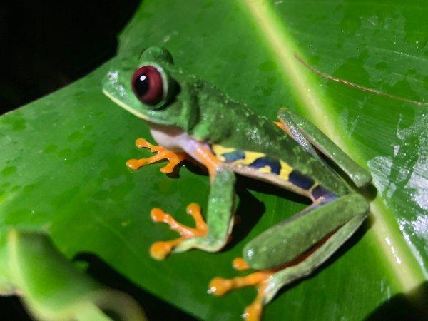 Red eye three frog - ©VACANCES AU COSTA RICA