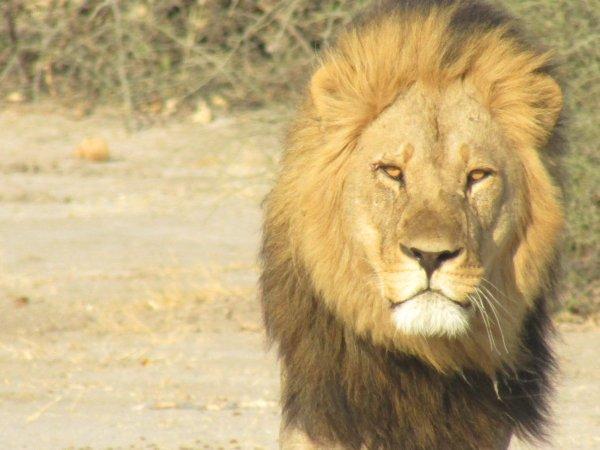 lion watching - ©MOONLIGHT SAFARIS