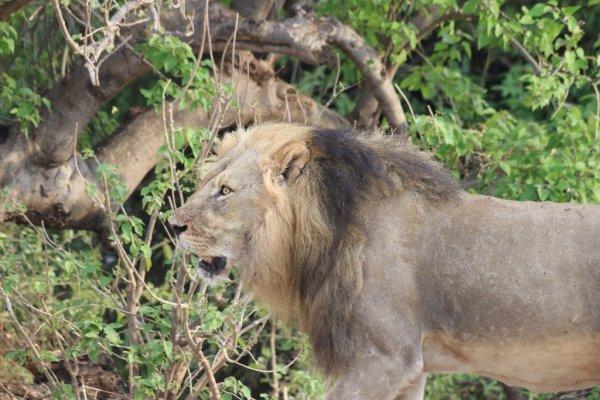 lion - ©MOONLIGHT SAFARIS