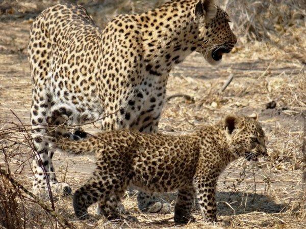 leopard - ©MOONLIGHT SAFARIS