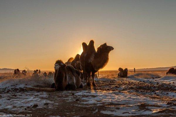 chameaux - ©MONGOLIE PLUS