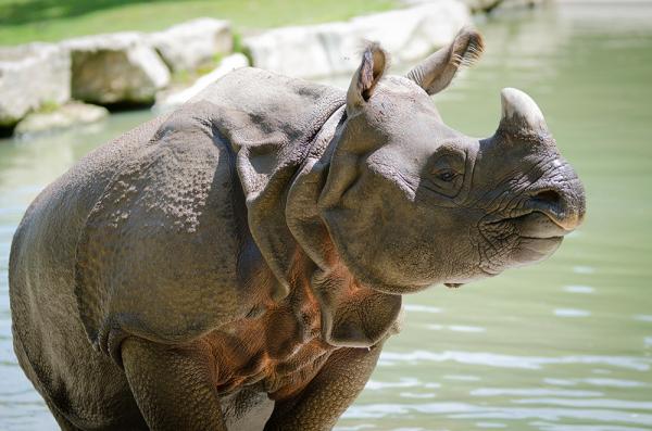rhinocéros Branféré - ©PARC ANIMALIER ET BOTANIQUE - PARCABOUT® DE BRANFÉRÉ