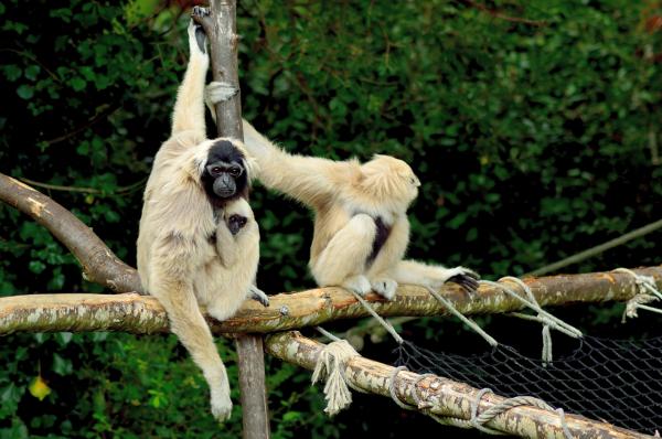 gibbons Branféré - ©PARC ANIMALIER ET BOTANIQUE - PARCABOUT® DE BRANFÉRÉ