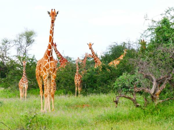 Girafes Samburu - ©LEBOO SAFARIS