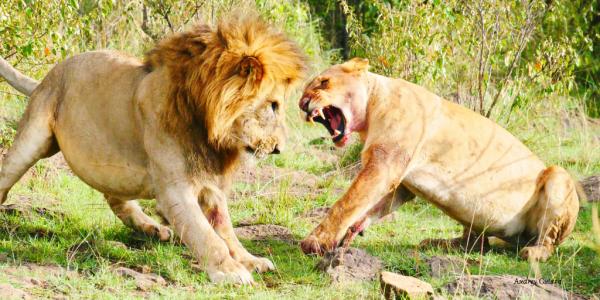 Lion vs lionne - ©LEBOO SAFARIS