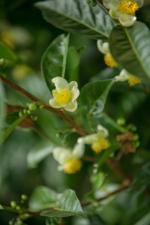 Fleurs de théier - ©LE LABYRINTHE EN CHAMP THÉ