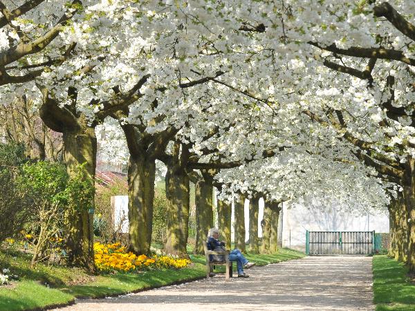 Allée des cerisiers - ©R.Jacq