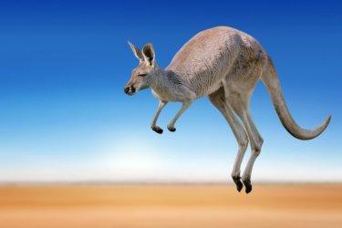 australie-kangourou-c-freder