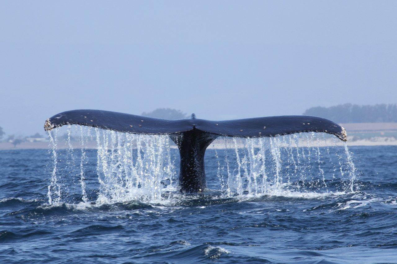 etats-unis-californie-queue-de-baleine-a-bosse-plonge-e-dans-la-baie-de-monterey-c-schmez