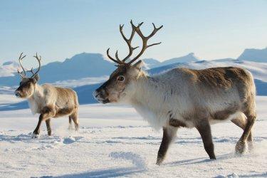 suede-laponie-rennes-dans-la-neige-c-dmitry-chulov