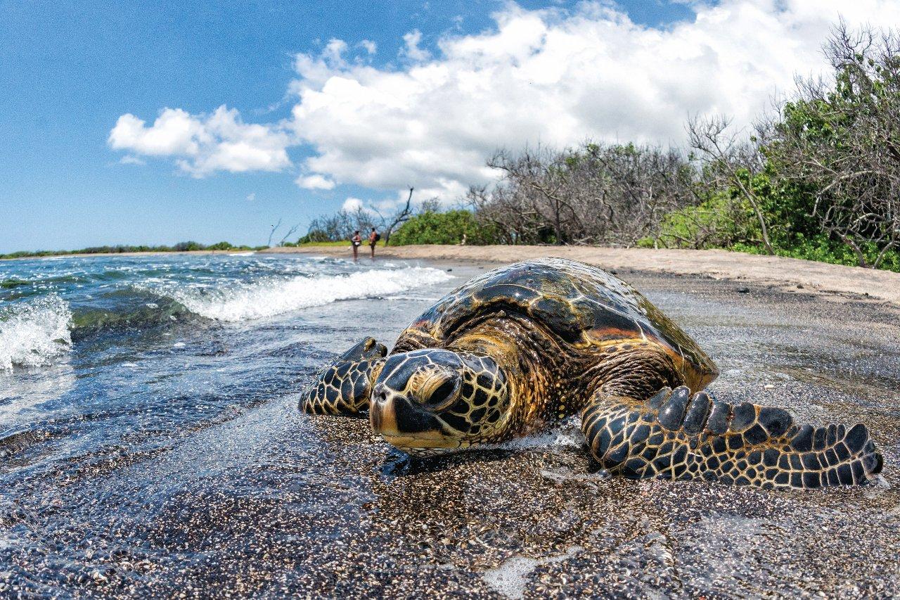 etats-unis-hawai-tortue-de-kailua-kona-c-andrea-izzotti