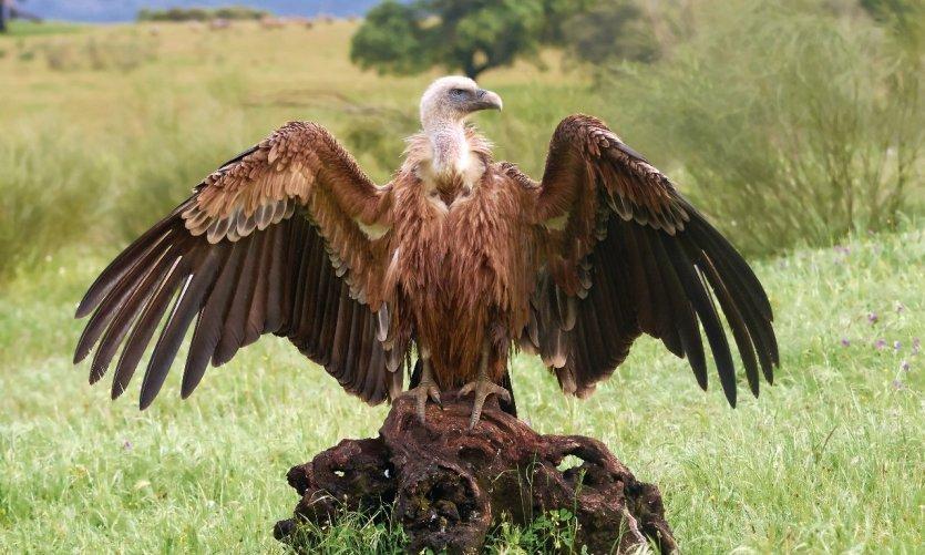 estre-madure-vautour-griffon-c-denja1