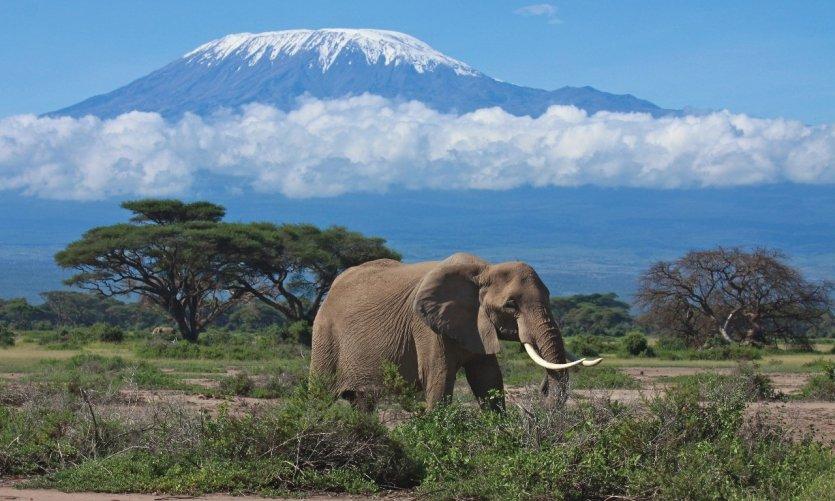 ele-phant-matriarche-en-face-du-mont-kilimandjaro-kenya-c-graemes
