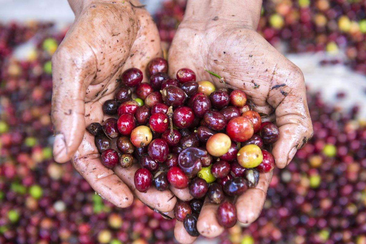 2-honduras-mains-tenant-la-culture-du-cafe-c-helovi